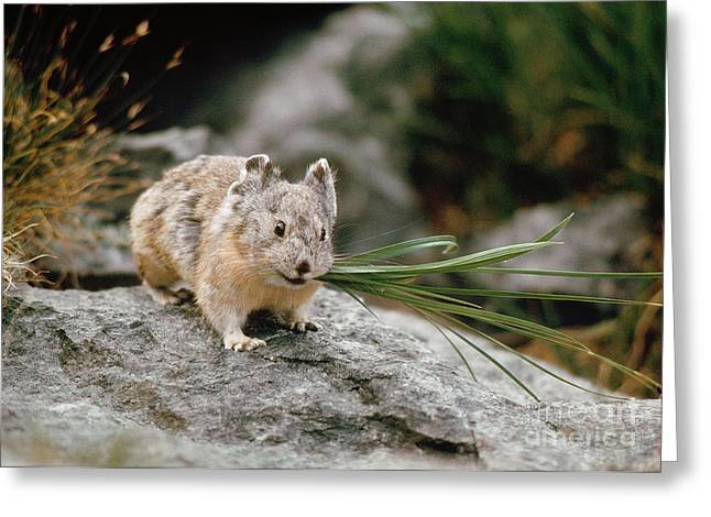 Greeting Card featuring the photograph American Pika by Doug Herr