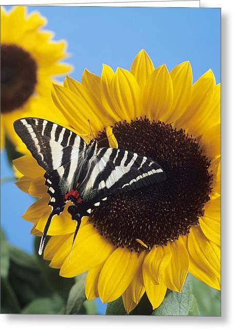 American Swallowtail Greeting Card by David Aubrey