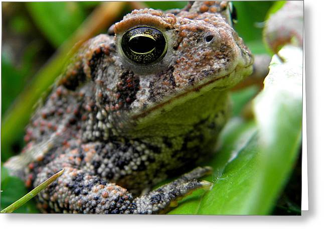 American Toad Greeting Card by Griffin Harris