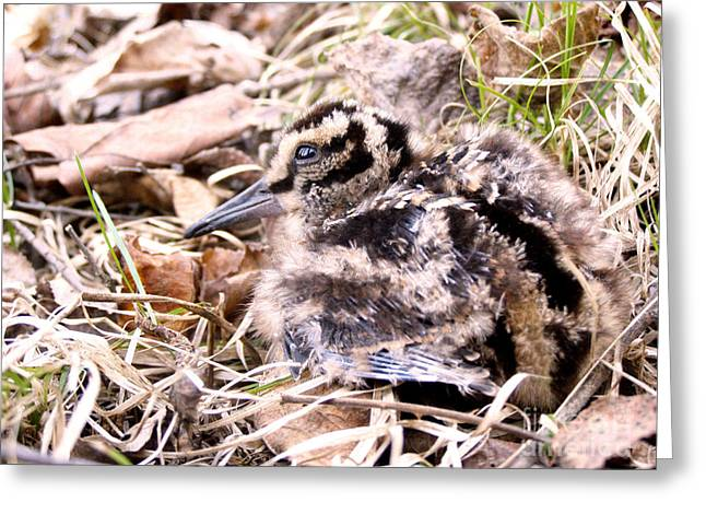American Woodcock Chick Greeting Card by Angie Rea