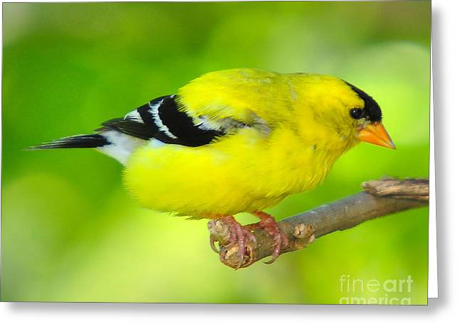 Greeting Card featuring the photograph American Yellow Finch by Jack Moskovita