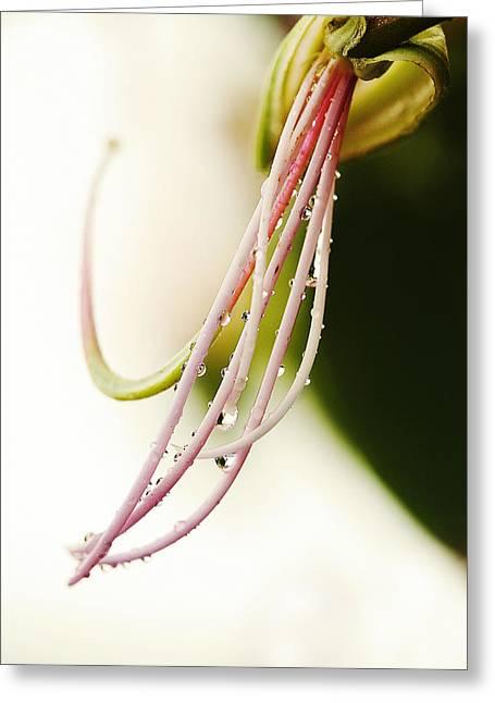 Amherstia Nobilis 1 Greeting Card