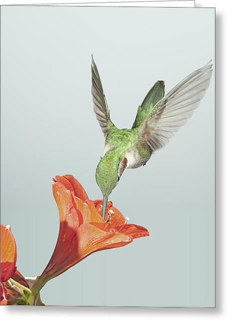 Amyrillis And Broadtailed Hummingbird Greeting Card by Gregory Scott