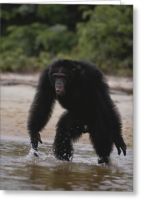 An Adult Chimpanzee Hoots Aggressively Greeting Card