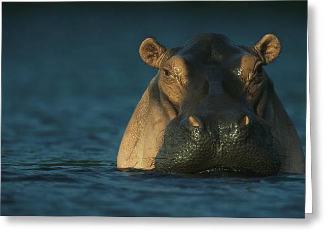 An Adult Hippopotamus Standing In Water Greeting Card by Michael Nichols