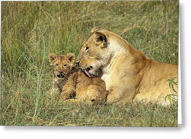 An African Lion Grooms Greeting Card