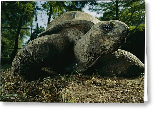 An Aldabra Tortoise At The Audubon Zoo Greeting Card by Michael Nichols