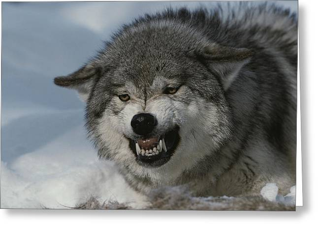 An Alpha Gray Wolf, Canis Lupus, Snarls Greeting Card by Jim And Jamie Dutcher