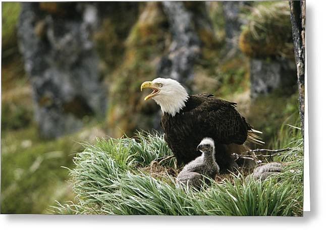 An American Bald Eagle And Young Greeting Card by Klaus Nigge