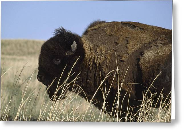 An American Bison Bison Bison Still Greeting Card by James P. Blair