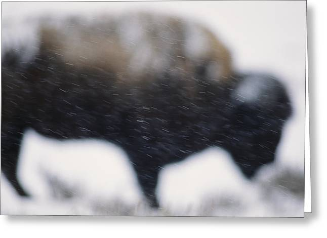 An American Bison Braves A Blizzard Greeting Card by Annie Griffiths