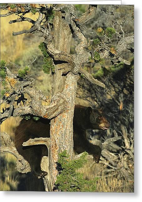 An American Black Bear Climbing A Tree Greeting Card by Norbert Rosing