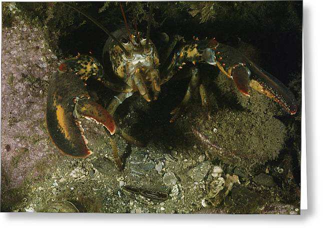 An American Lobster In An Aggressive Greeting Card by Bill Curtsinger