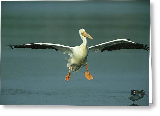 An American White Pelican In Flight Greeting Card by Klaus Nigge