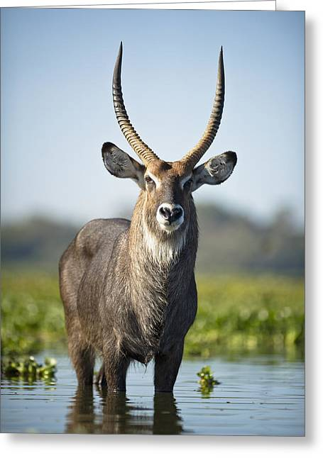 An Antelope Standing In Shallow Water Greeting Card by David DuChemin
