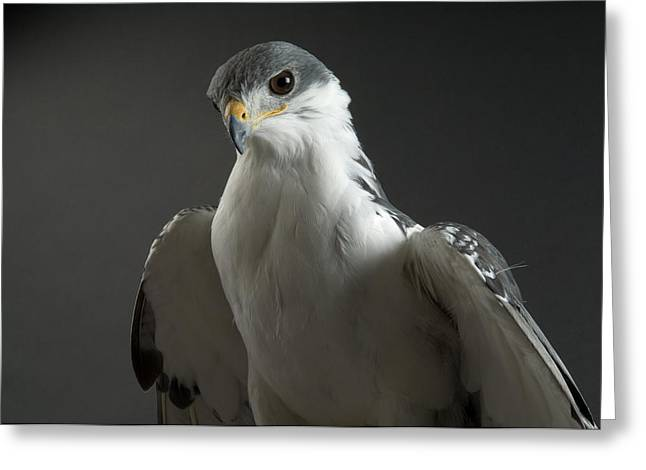 An Auger Buzard Buteo Auger At Denver Greeting Card by Joel Sartore