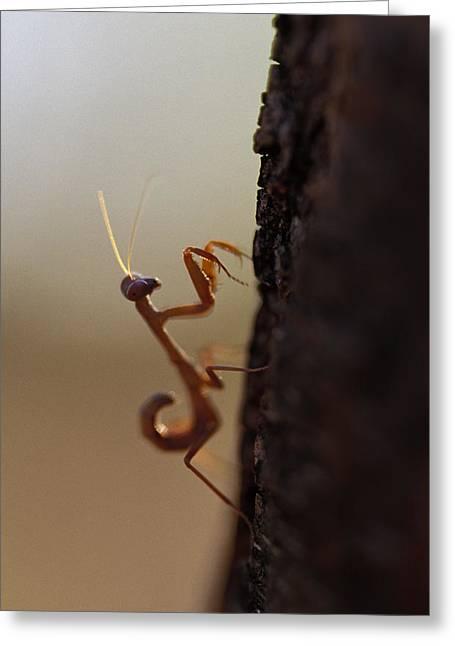 An Elegant Juvenile Mantid Hunting Greeting Card