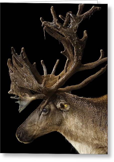 An Endangered Eight-year-old Woodland Greeting Card by Joel Sartore