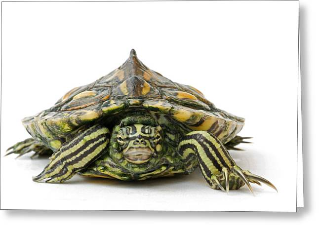 An Endangered Yellow-blotched Map Greeting Card by Joel Sartore