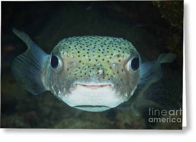 An Inquisitive Porcupinefish, Bonaire Greeting Card by Terry Moore