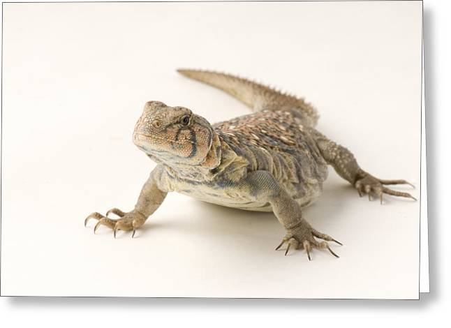 An Ocellated Uromastyx Lizard Uromastyx Greeting Card by Joel Sartore