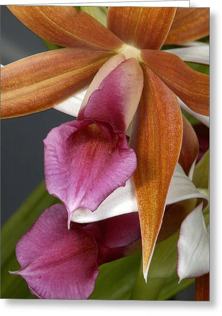 An Orchid, Probably A Cattleya Hybrid Greeting Card by Stephen Sharnoff