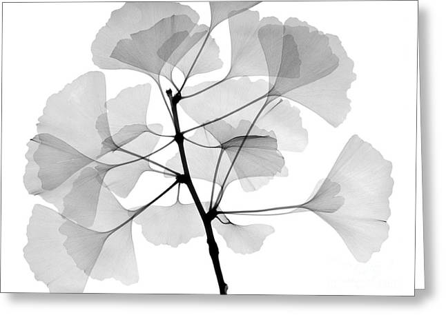 An X-ray Of Ginko Leaves Greeting Card by Ted Kinsman