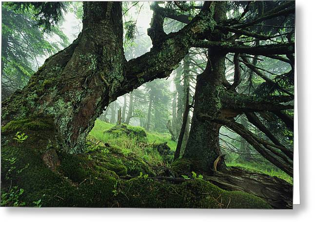Ancient Fir Trees In Forest Greeting Card by Norbert Rosing