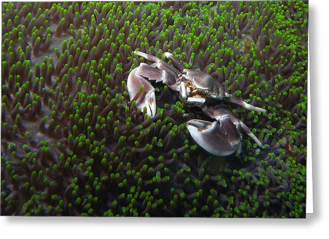 Anemone Crab Greeting Card by Ted Papoulas