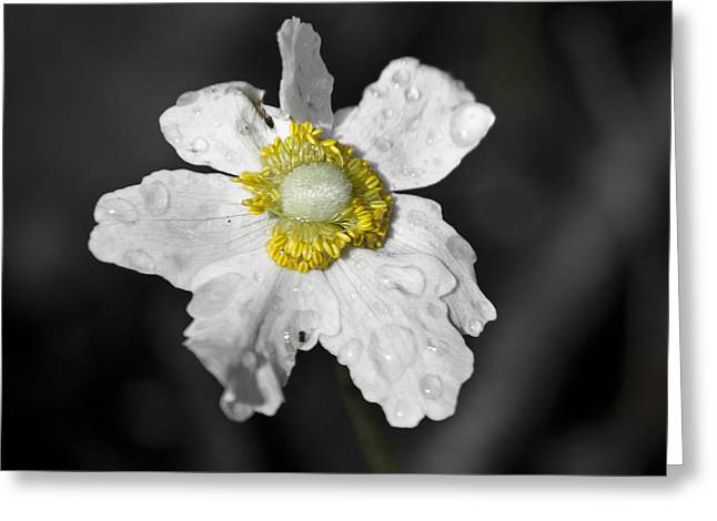 Anemone Desaturated Squared Greeting Card by Teresa Mucha