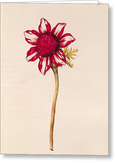 Anemone Greeting Card by Nicolas Robert