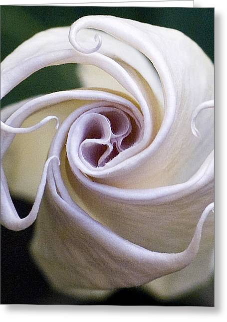 Angel Trumpet Blooms Greeting Card
