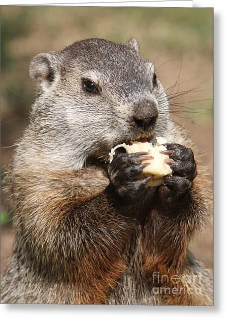 Animal - Woodchuck - Eating Greeting Card by Paul Ward