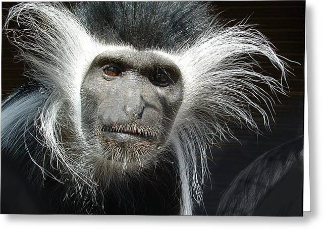 Animals Parent Male Colobus Staring Down Greeting Card