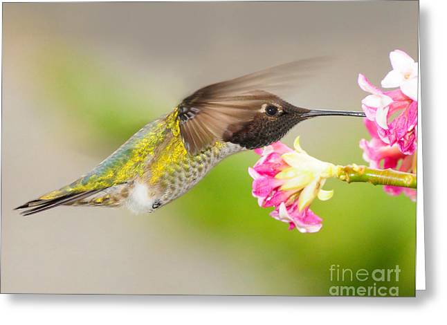 Greeting Card featuring the photograph Anna Hummingbird by Jack Moskovita