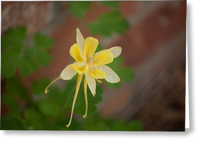 Another Columbine Greeting Card by Jessica Lowell