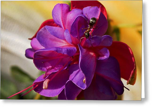 Ant On A Fuschia In Full Bloom Greeting Card by Angelito De Jesus