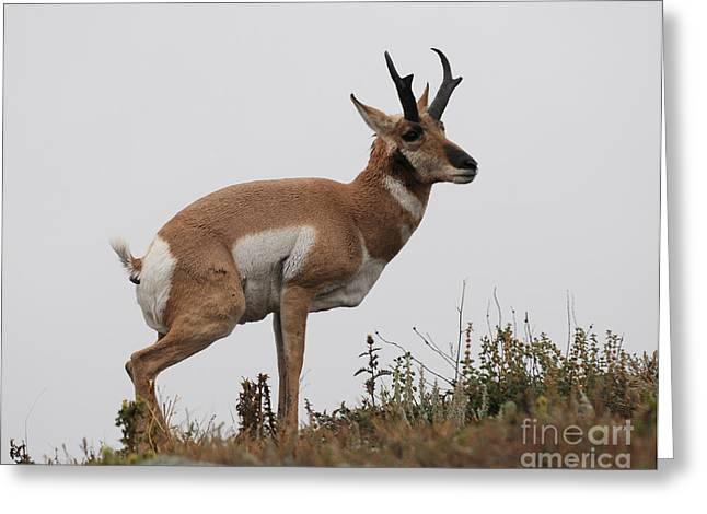 Antelope Critiques Photography Greeting Card