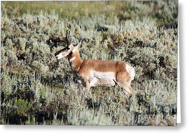 Antelope In Lamar Valley Greeting Card