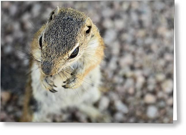 Antelope Squirrel  Greeting Card by Saija  Lehtonen