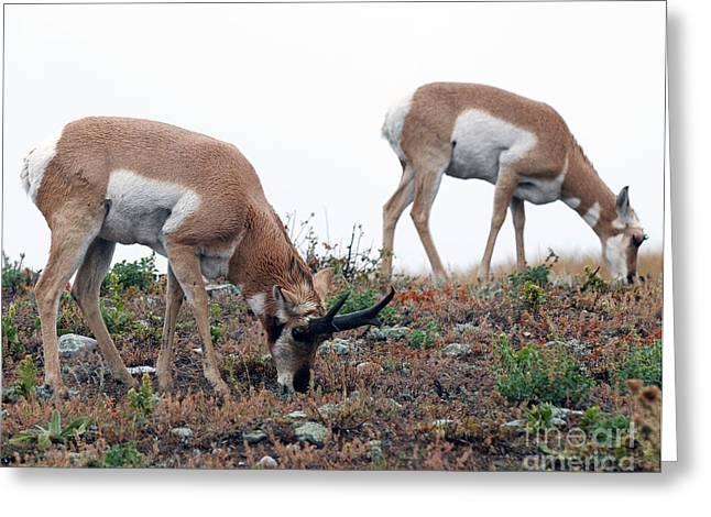 Antelopes Grazing Greeting Card