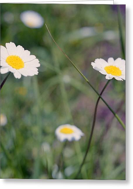 Anthemis Abrotanifolia Or Chamomile Greeting Card by Paul Cowan
