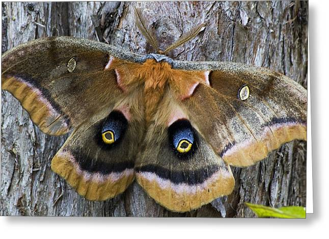 Antheraea Polyphemus Polyphemus Moth  Greeting Card