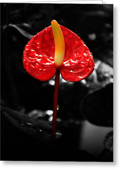 Anthurium Rising Greeting Card by Jacqui Collett