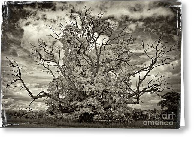 Antique Oak - Infrared Photography Greeting Card by Steven Cragg
