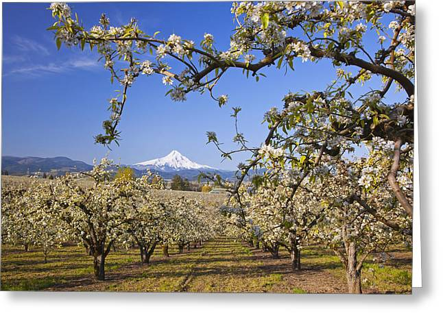 Apple Blossom Trees In Hood River Greeting Card by Craig Tuttle