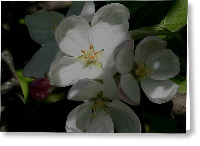 Apple Blossoms Greeting Card by Karen Harrison