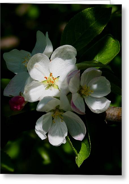Apple Blossoms2 Greeting Card