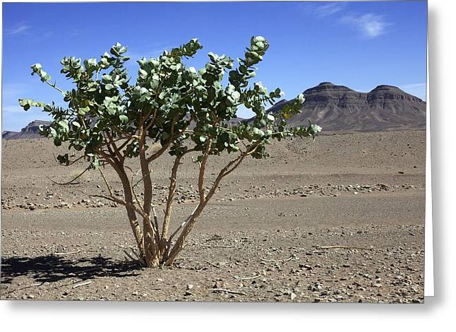 Apple Of Sodom (calotropis Procera) Tree Greeting Card by Dirk Wiersma
