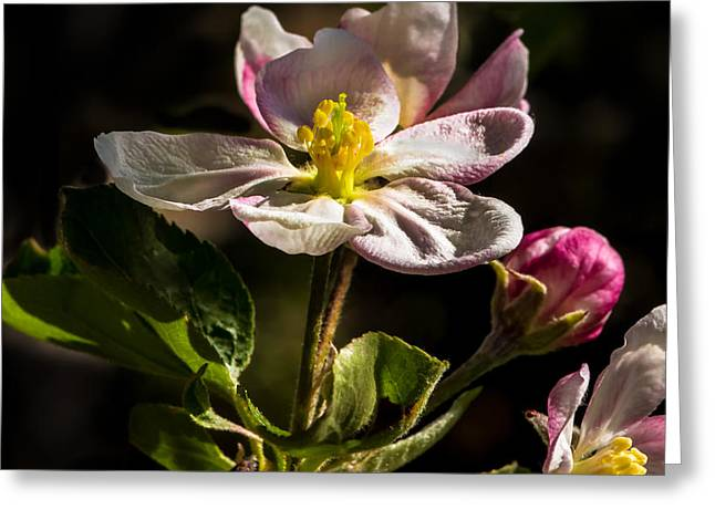 Apple Time Greeting Card by Robert Bales